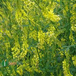 MÉLILOT OFFICINAL - Semences diverses (fleur jaune)